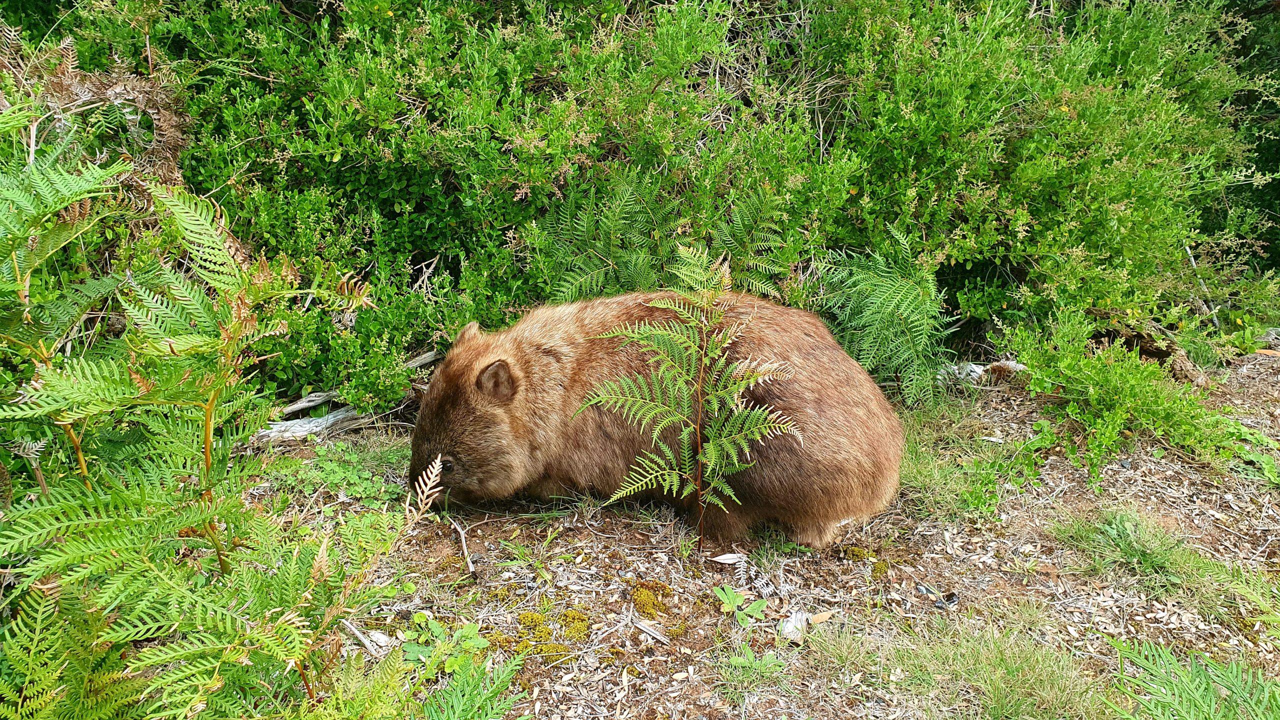 Wombat Prom Wildlife Walk