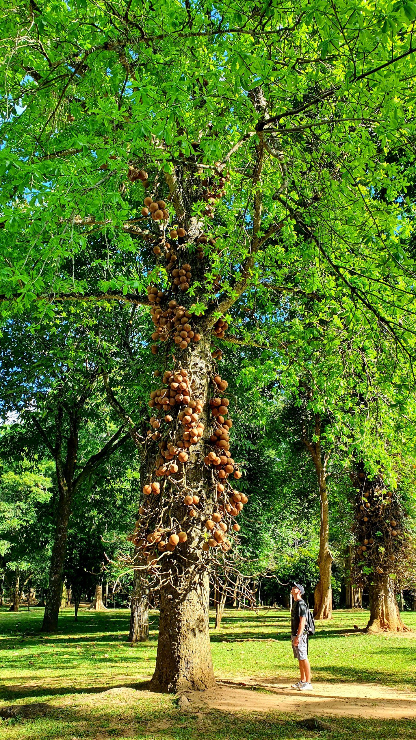 Królewskie Ogrody Botaniczne (Paradeniya) warto zobaczyć Sri Lanka
