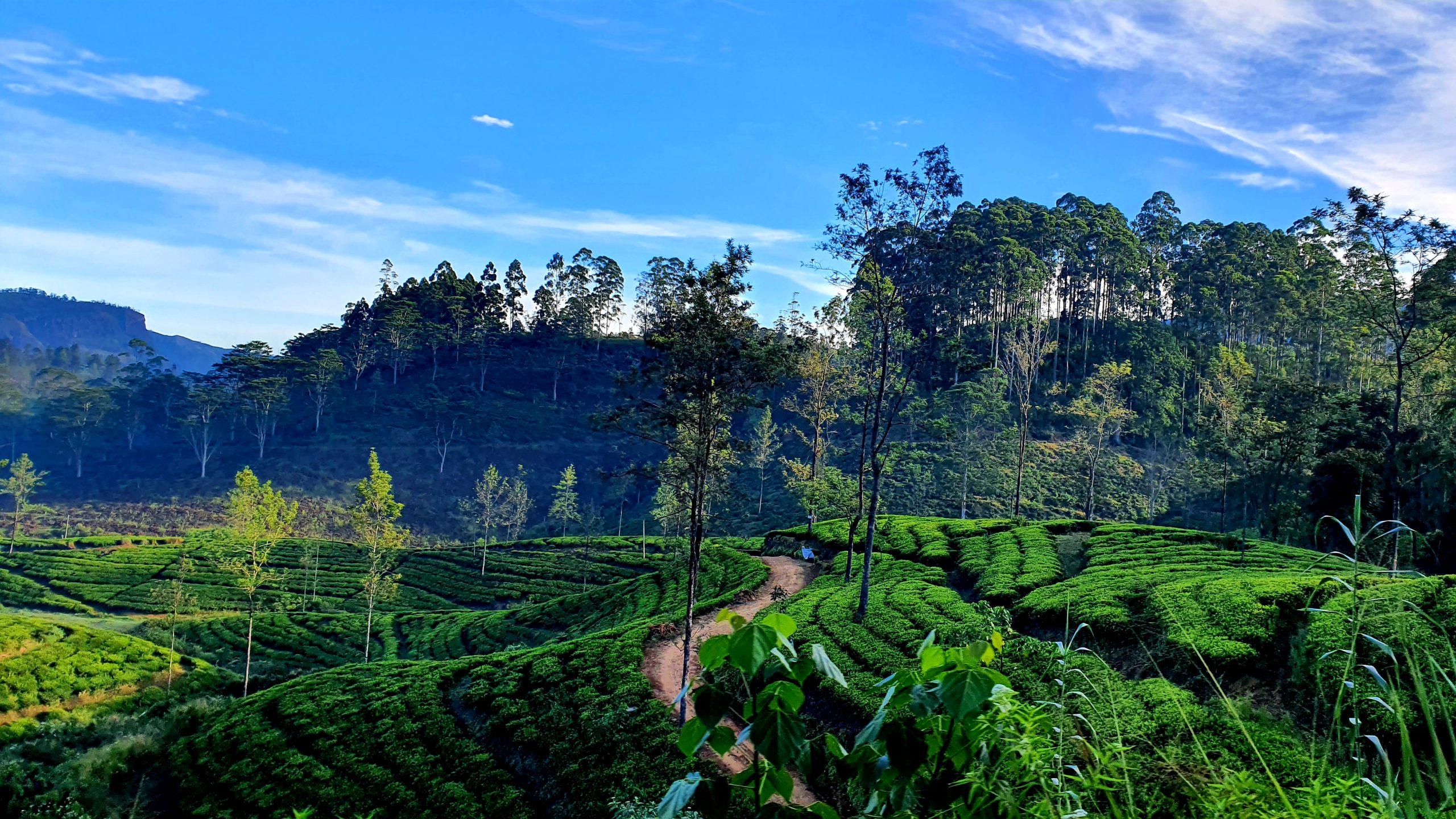Sri Lanka co warto zobaczyć plantacje herbaty