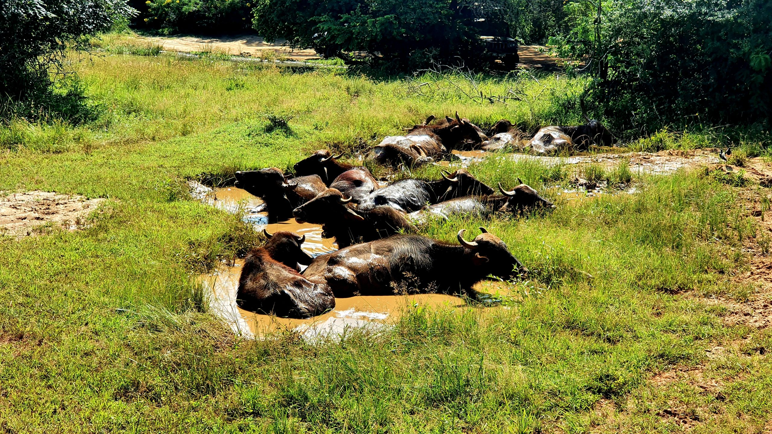 Bawoły Yala Park Narodowy Sri Lanka