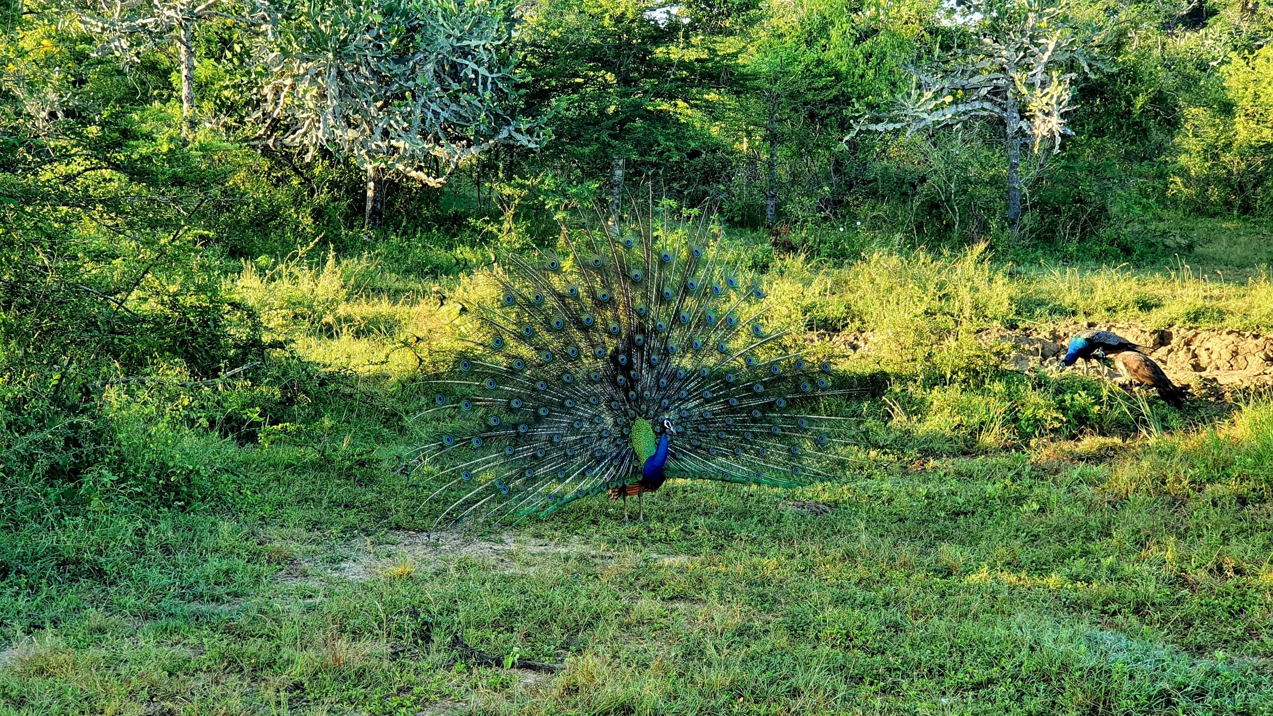 Yala Park Narodowy Sri Lanka Paw